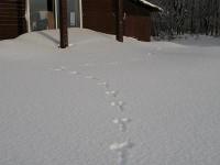 ベランダ前に続くウサギの足跡