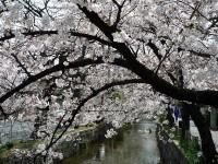 玉串川の桜02
