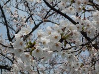 玉串川の桜03