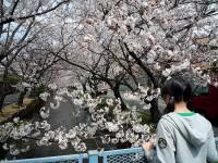 玉串川の桜04