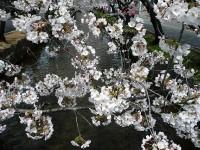 玉串川の桜05
