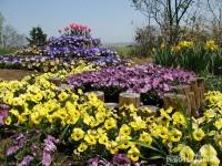 花壇のパンジーとチューリップ、水仙