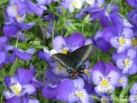 モルフォと蝶々