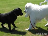 ピレネー犬とラブラドール