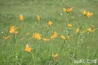 サロベツ原生花園のエゾカンゾウ