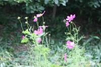 こぼれダネで咲き続けたコスモス