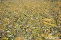 黄金色の葦原