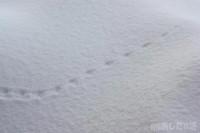 ネズミ(?)の足跡