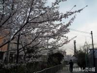 玉串川近くの桜