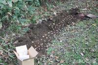 クロッカスを植える
