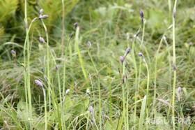 タチギボウシの花芽