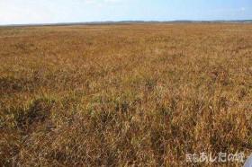 金色に輝くサロベツ湿原