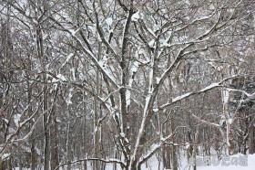 風で雪が吹き飛ばされた木立