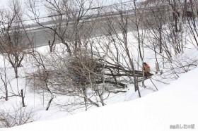 育ちすぎた木を切る