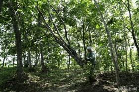 倒れた木を撤去