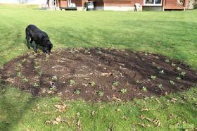 パンジーを植える