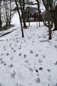 雪とクロッカス
