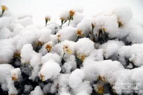 雪の下になったマリーゴールド