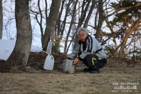 イタヤカエデの樹液採取