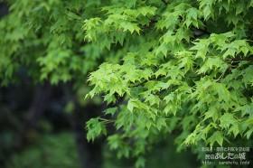 イタヤカエデの新緑