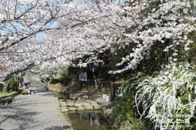 近所の桜その1