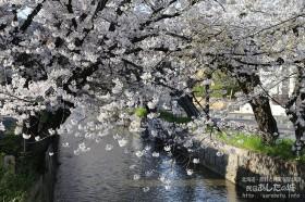近所の桜その3