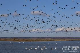 白鳥とマガンの群れ