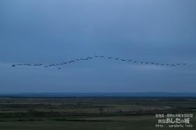 原野の上空を飛ぶマガン