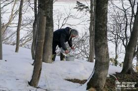 樹液の採集