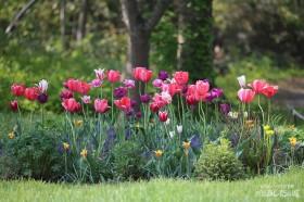 丸い花壇のチューリップ
